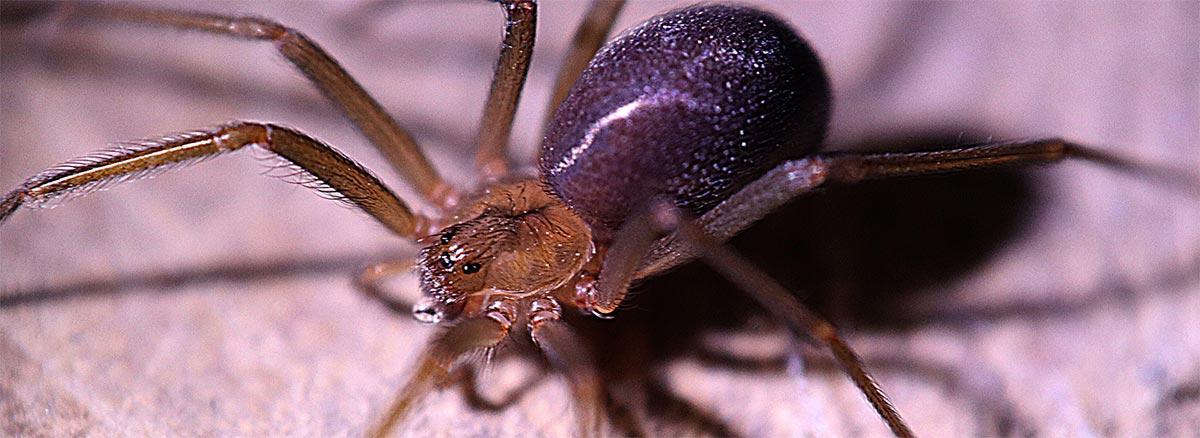 Araña violinista o araña del rincón