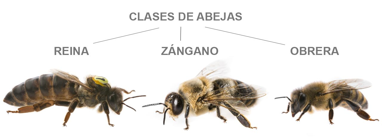Clases de abejas: zánganos, abejas obreras y abeja reina