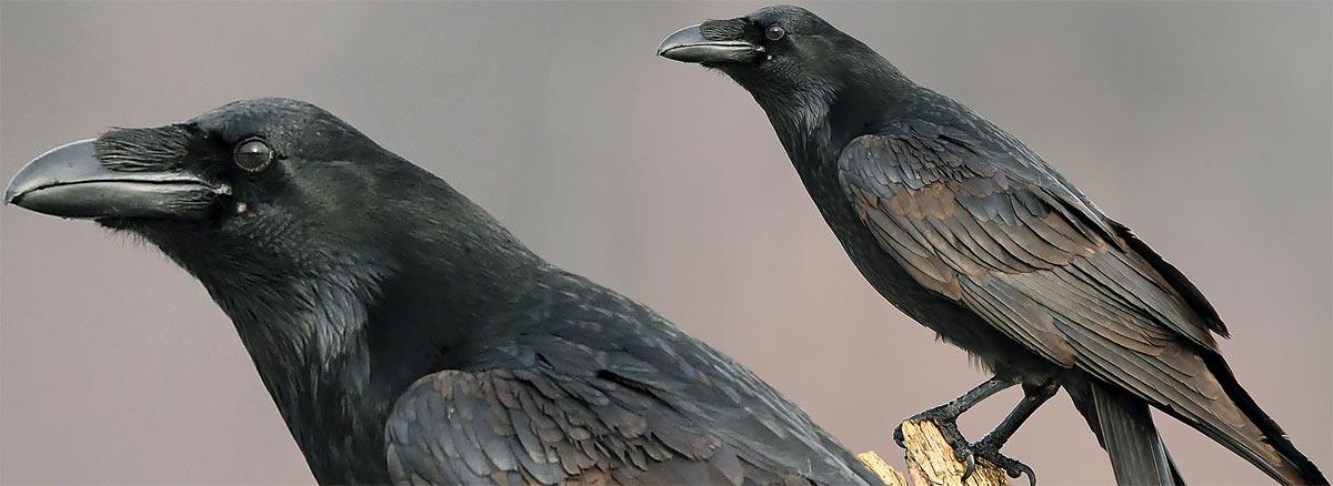 Cuervo grande, el auténtico Corvus corax