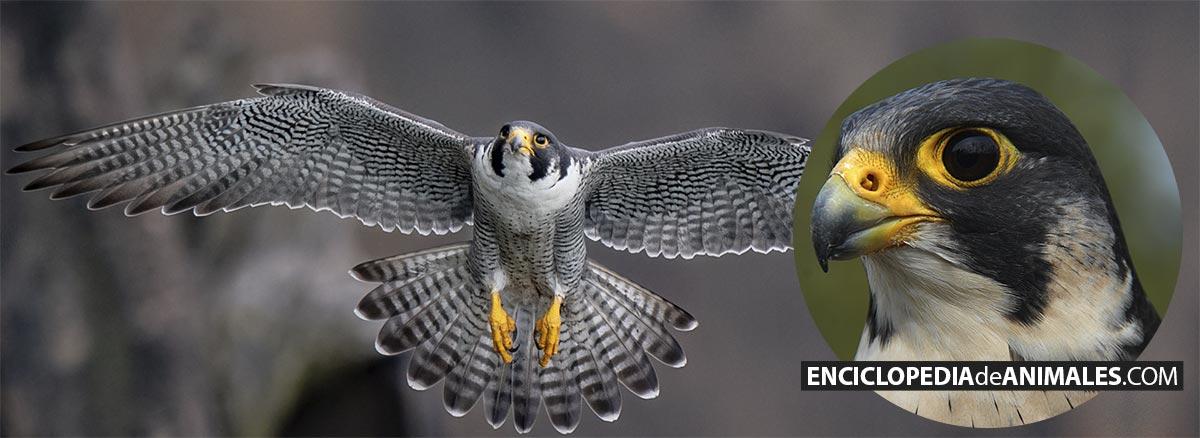 Halcón peregrino en vuelo y cabeza detallada
