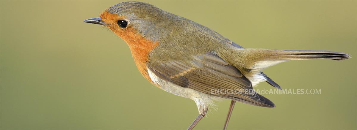Pájaro petirrojo Erithacus rubecula