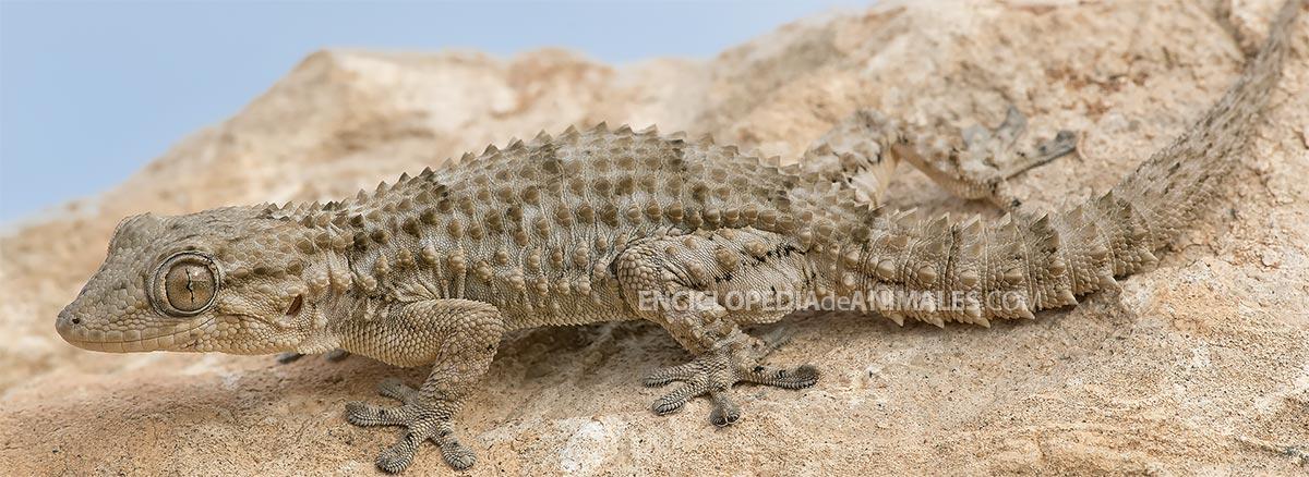 Salamanquesa tarentola mauritanica
