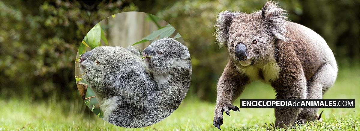 Koala andando y hembra de koala con cría comiendo eucalipto