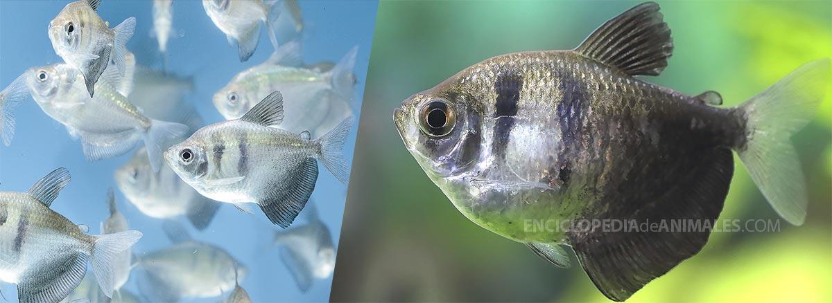 pez monja o tetra negro, el denominado Gymnocorymbus ternetzi