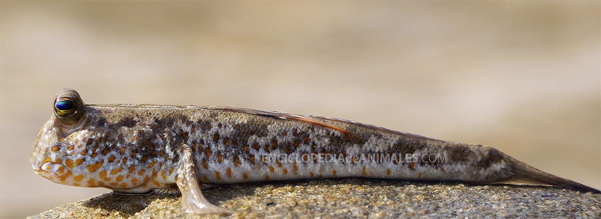 Saltarín del fango Periophthalmus chrysospilos