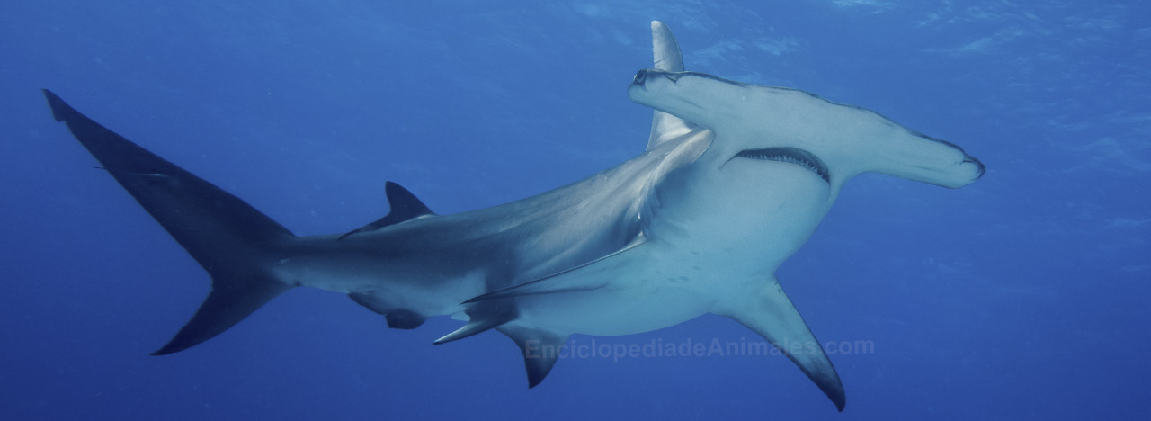 tiburón martillo género sphyrnidae