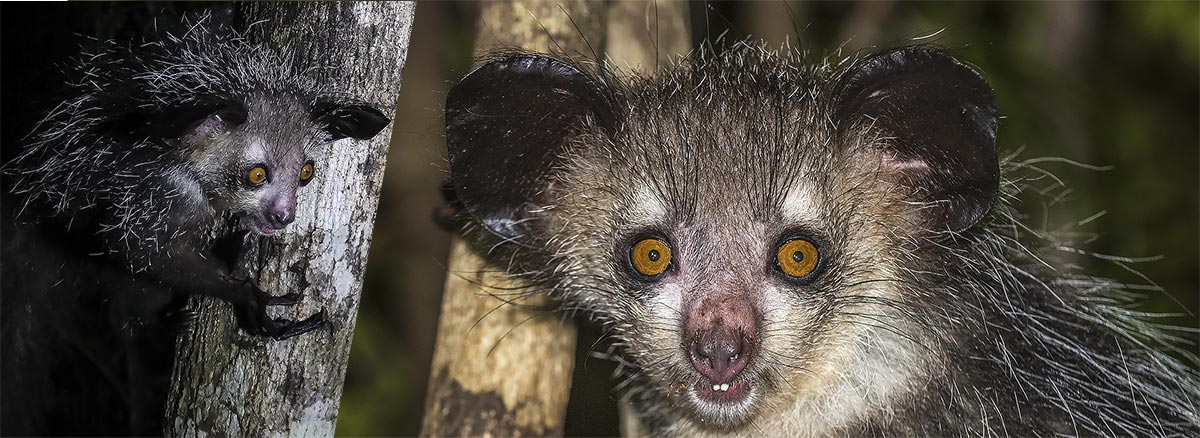 Lemur Aye aye o Daubentonia madagascariensis