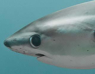 Tiburón zorro o tiburón azotador