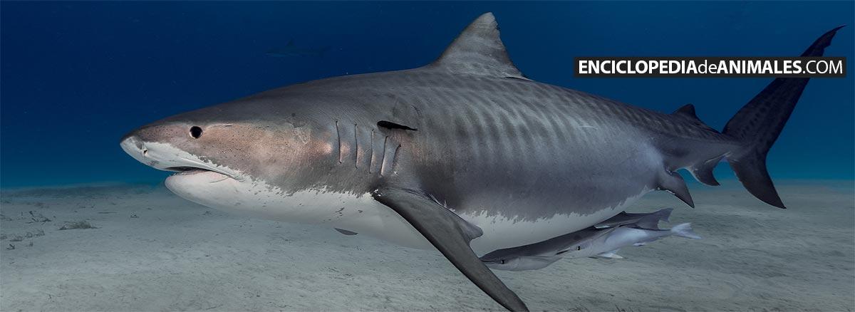 Tiburón tigre en busca de presas para alimentarse